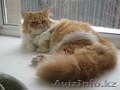 Ищу персидскую кошечку для вязки